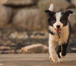 אימוץ כלב מאולף