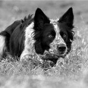 קורס אילוף כלבי רעייה
