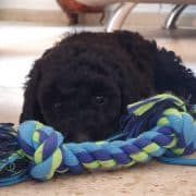 מבחן גורים כלבנות טיפולית